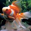 Карманная рыба