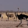 Трусливый страус