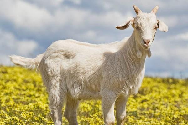 Мудрая коза