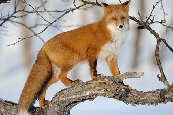 Хвастливая лиса